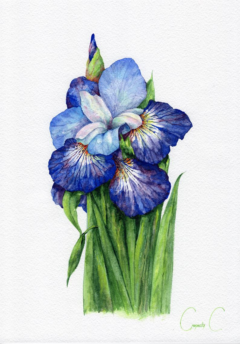 Cool Blue Irises Png Watercolor Set 104298 Illustrations Design Bundles Iris Flowers Purple Iris Flowers Purple Iris