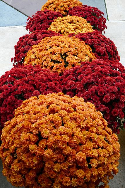 colorful mums grace the entrance to the barnes exhibit hall our