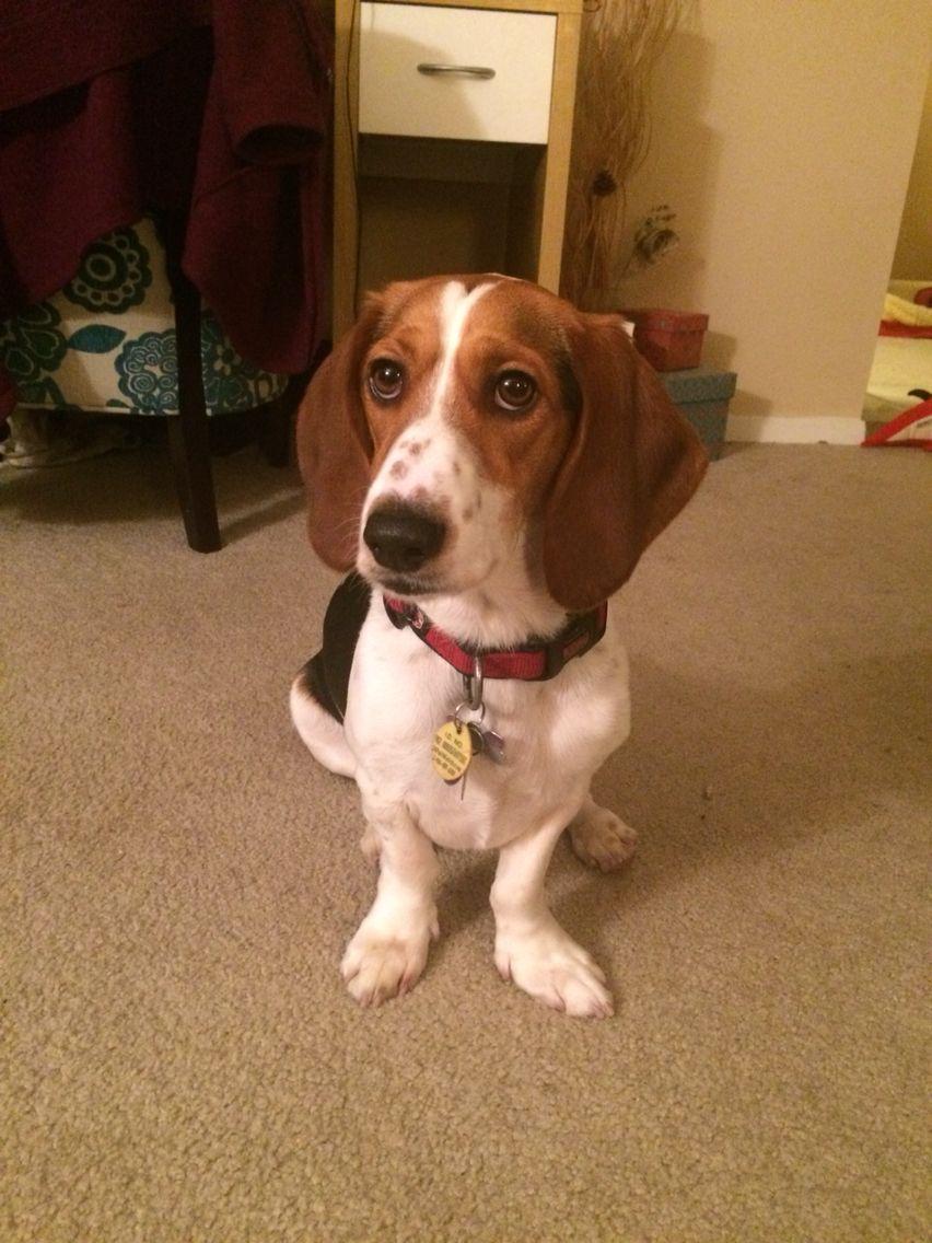 My dog: Lucy the beagle/basset hound