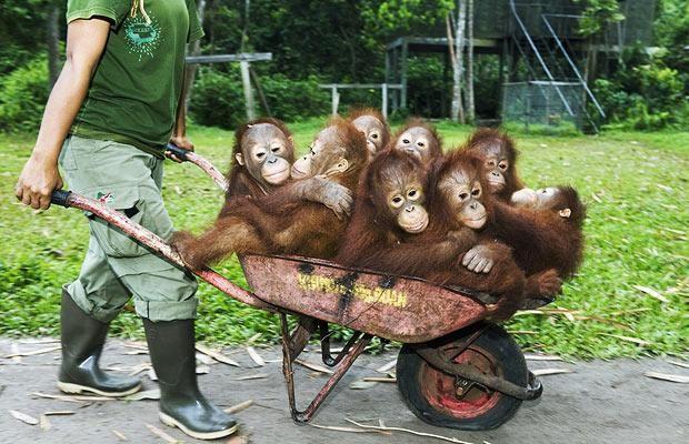 Baby Orangutans Google Images Funny Monkey Pictures Baby Animals Baby Orangutan