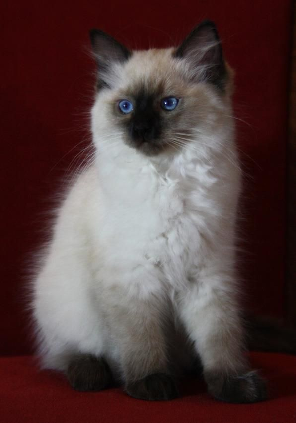 Ragdoll Seal Colorpoint Gorgeous Cats Ragdoll Cat Cute Cats