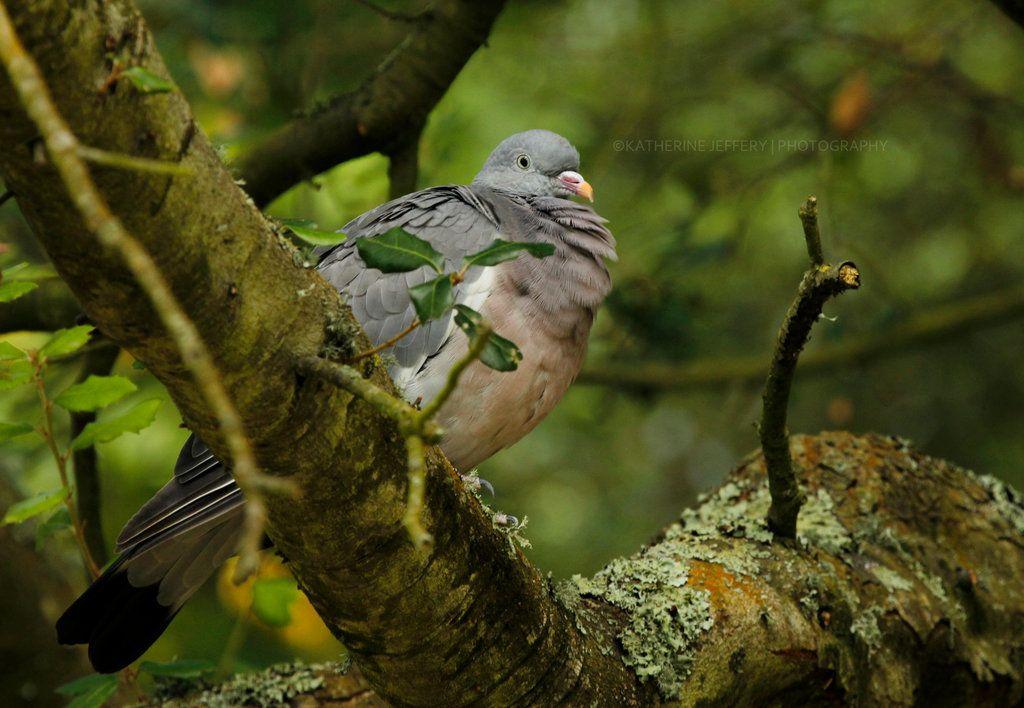 Wood Pigeon by KattPhotography on DeviantArt