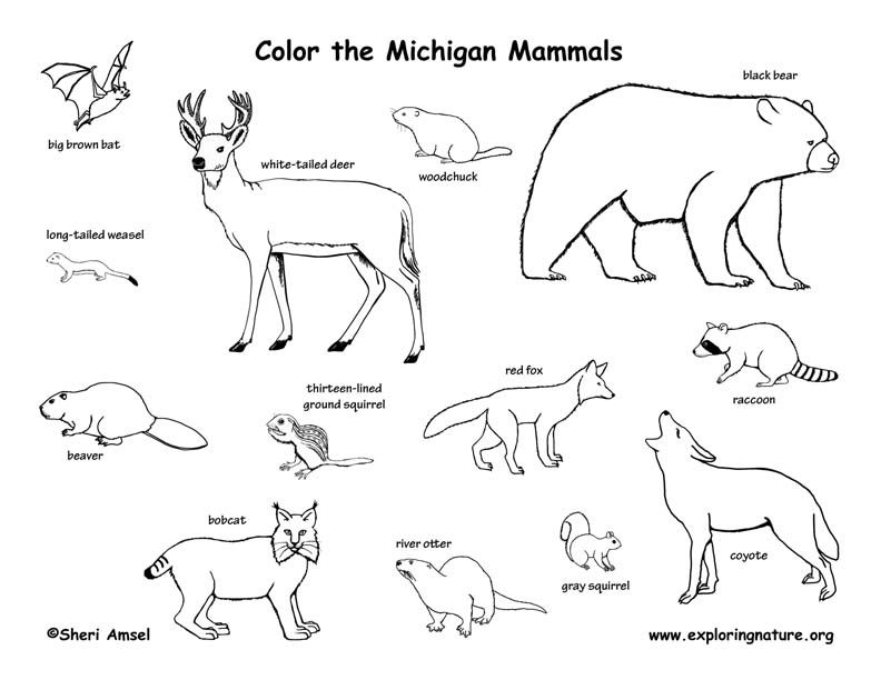 Michigan Canadian Animals Mammals Animal Coloring Pages