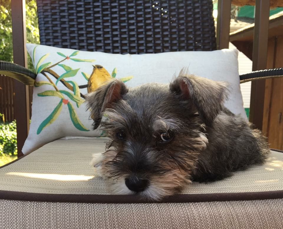 Looks Just Like Quincy Schnauzer Puppy Pet Dogs Puppies Cute