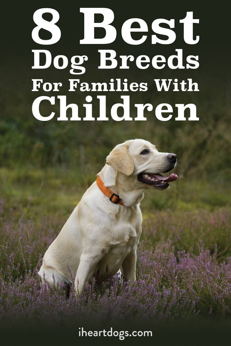 8 Best Dog Breeds For Families With Children Family Friendly Dogs Best Dog Breeds Family Dogs Breeds