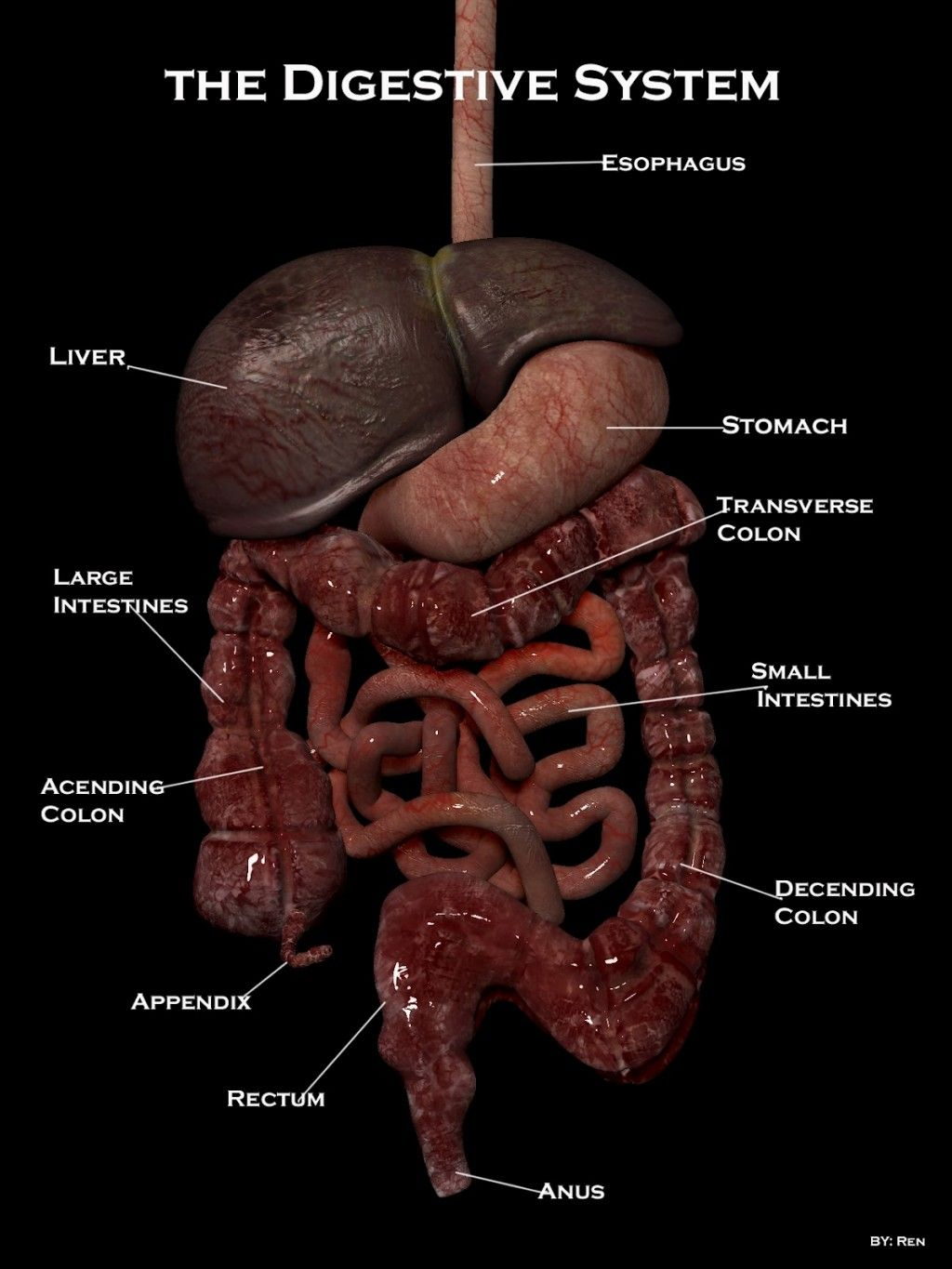 Real Pictures Of The Digestive System Ew Now I Can See Exactly