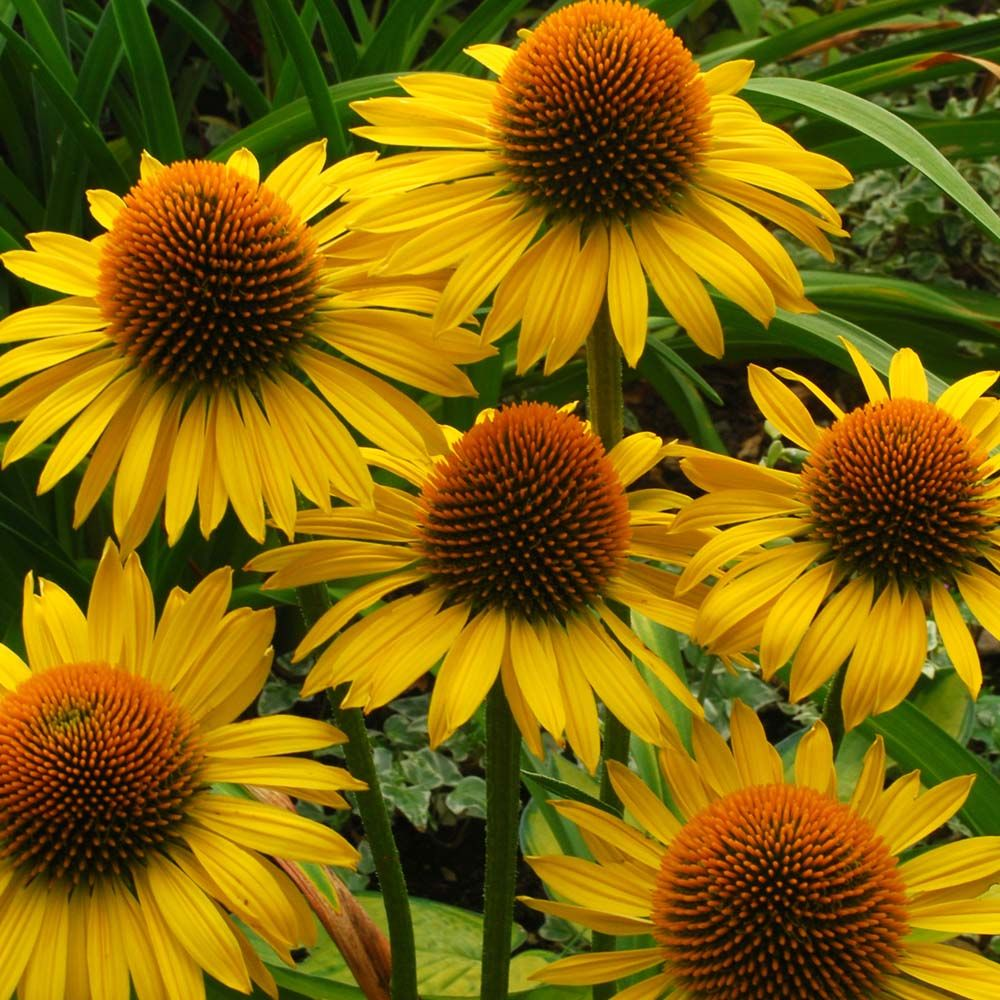 Echinacea Maui Sunshine Gorgeous Look At Me Plant Not For The Shyer Gardener D Echinacea Plants Flowers Perennials
