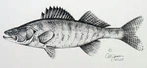 Walleye Fish Drawings Pencil Drawings Fish