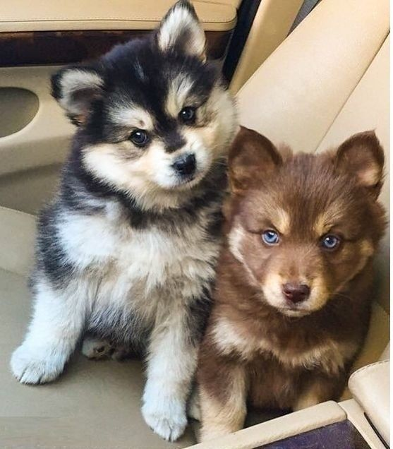 Cute Sweet Puppy Husky Baby Puppies Pomsky Puppies Cute Animals