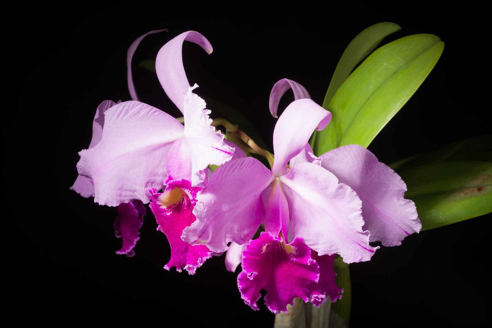 Colombia Cattleya Warscewiczii Fma Aquinii Gigante De Cuiete Rchb F Bonplandia Hannover 2 112 1854 Cattleya Orchidaceae Orchids