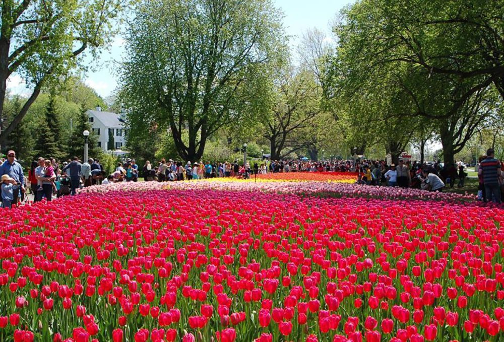 Things to Do at the Canadian Tulip Festival 2019 Tulip