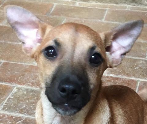 Adopt Hercules On Corgi Dachshund Dachshund Dog Dachshund Mix