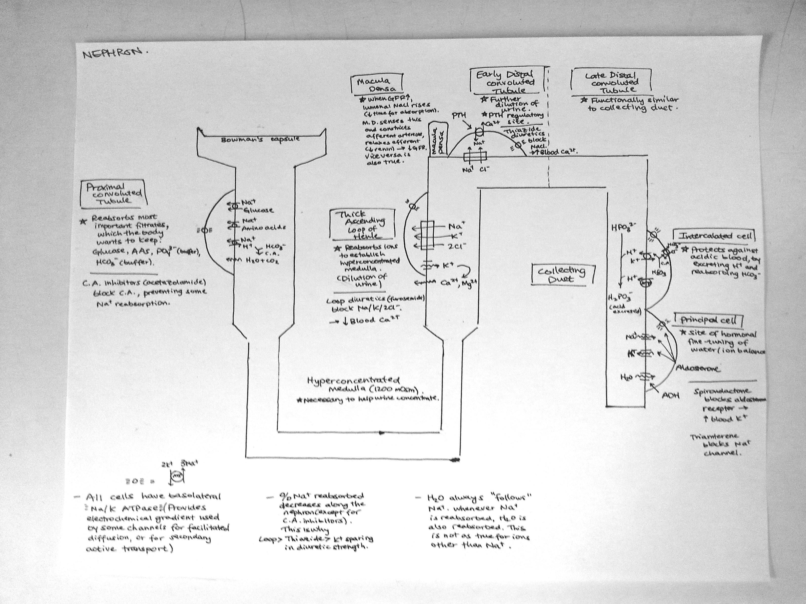 Made a simple diagram of the nephron for anyone studying renal phys i made a simple diagram of the nephron for anyone studying renal phys i hope this might ccuart Images