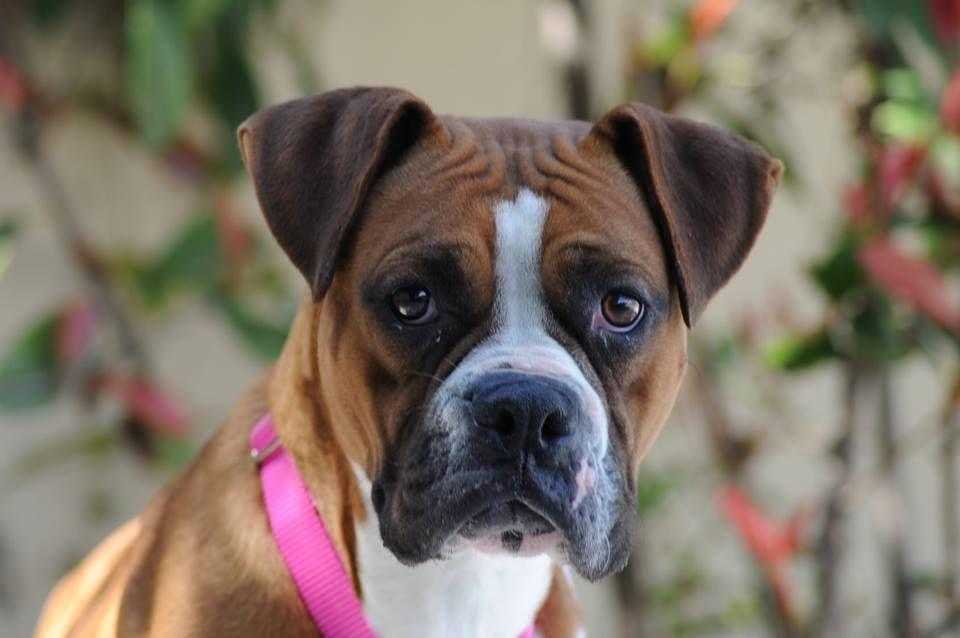 Boxer dog for Adoption in Alameda, CA. ADN509182 on