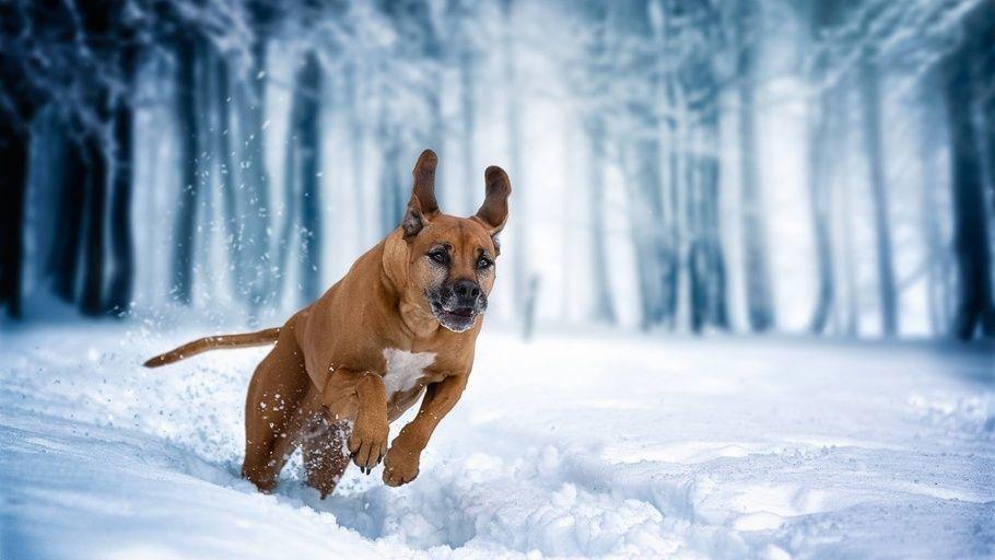 Wallpaper Muzzle Dog Pug Winter Snow Eyes Cute Pugs Cute