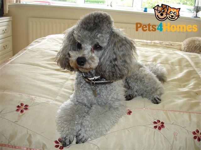 Silver Toy Poodle At Stud Toy Poodle Dog Breeds Poodle