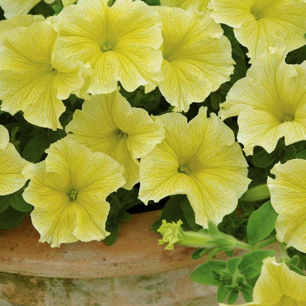Petunia Fanfare Yellow Yellow Flowering Plants Petunias Planting Flowers