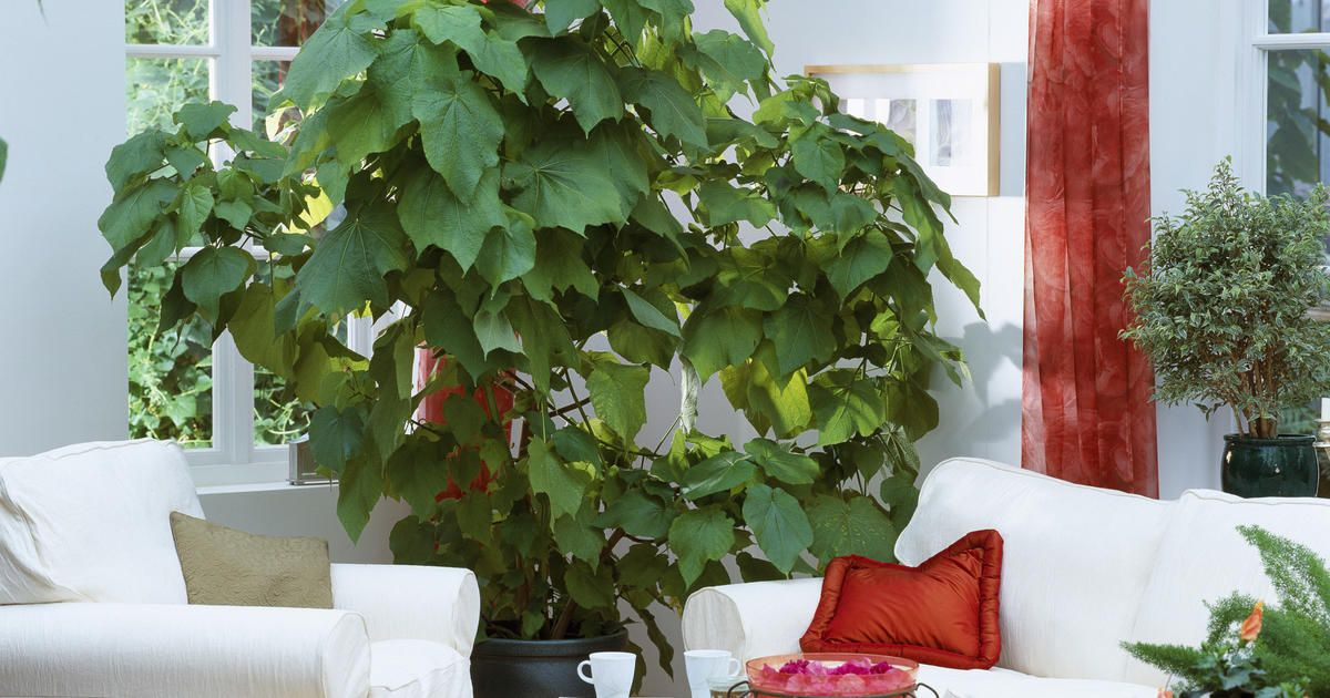 Zimmerlinde Zimmerlinde Pflanzen Zimmerpflanzen