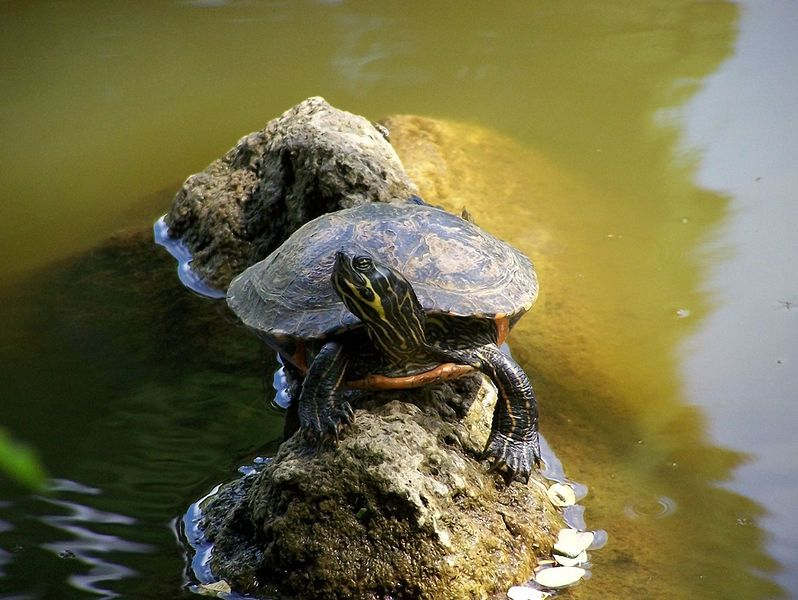 Eastern River Cooter Turtles Reptiles Turtle Animals