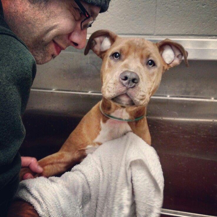 Blue Nose Pitbull Puppy Getting A Bath Apbt Pittie Pibble Bully