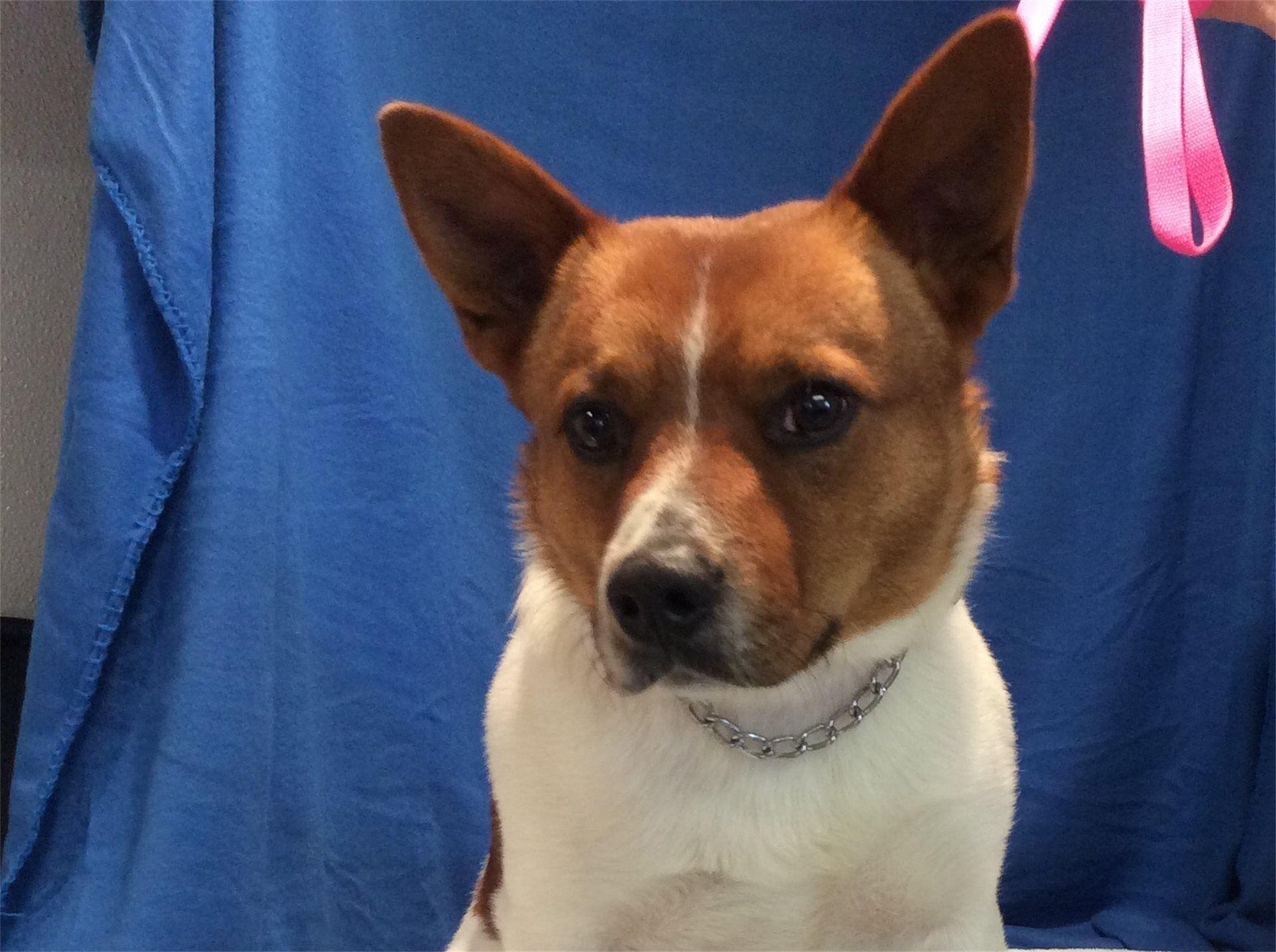 Corgi Puppies Adoption California 2021