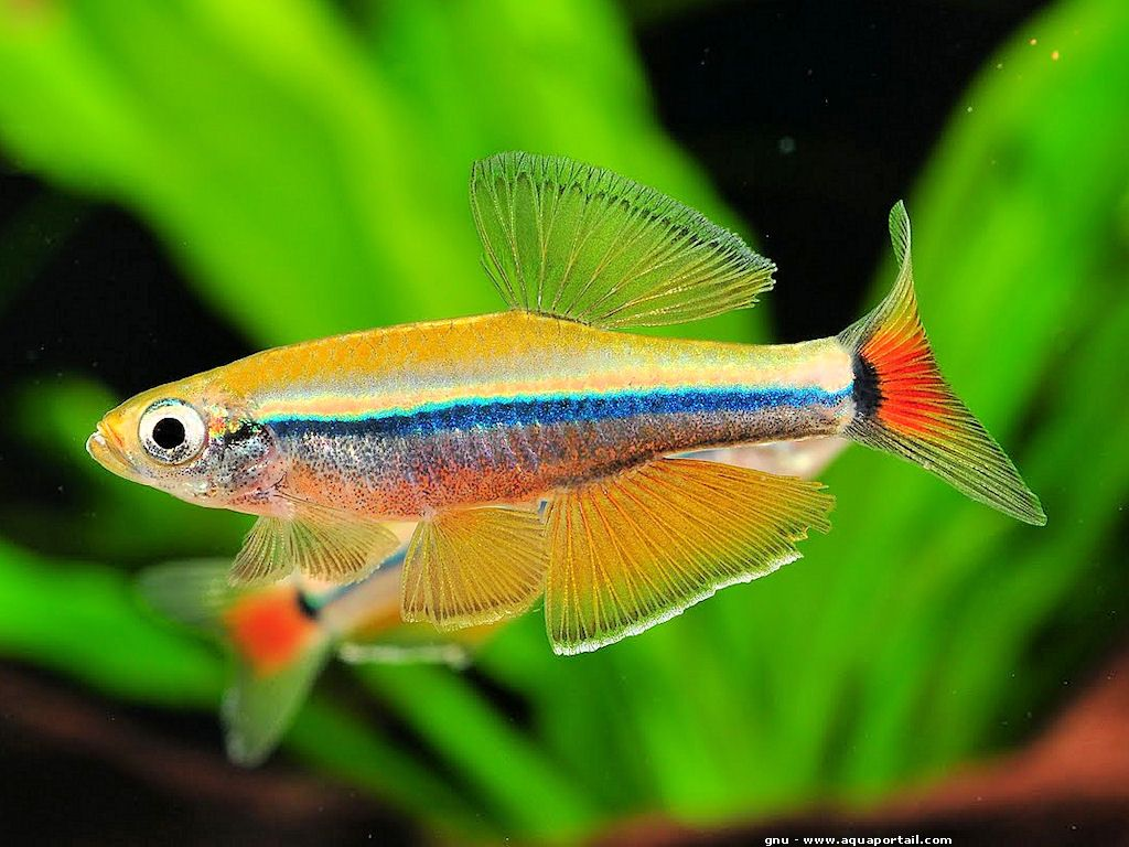 Tanichthys thacbaensis | Aquariums, Fish and Freshwater fish