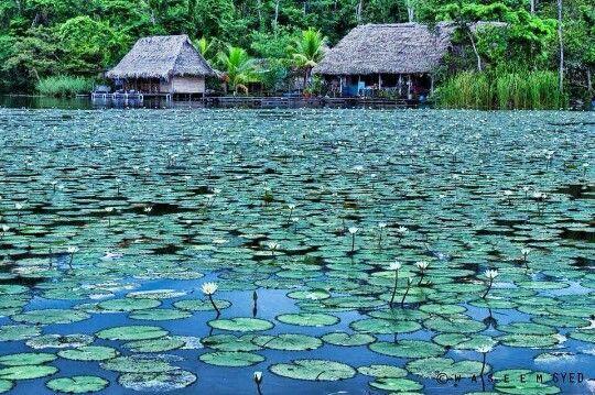Ninfas flotantes en Río dulce Izabal.Guatemala