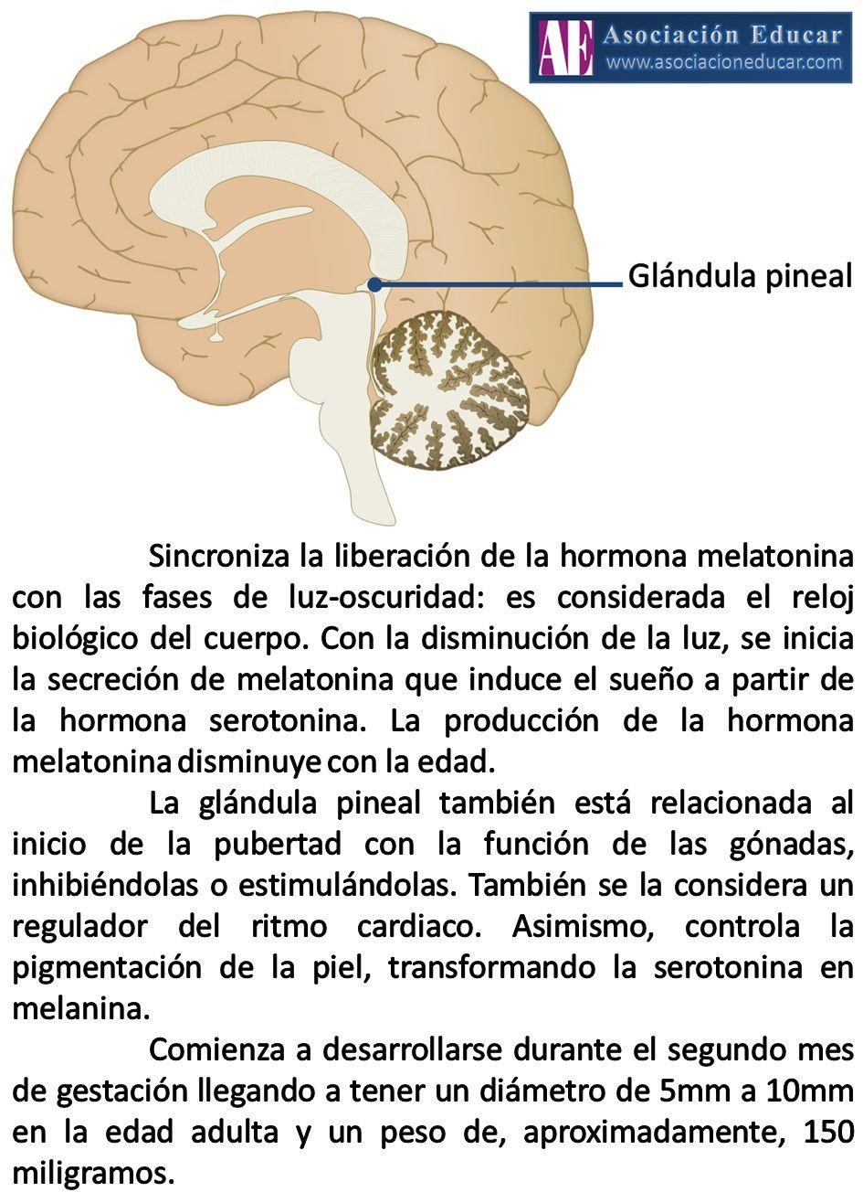 Infografía Neurociencias: Glándula pineal o epífisis. | Asociación ...