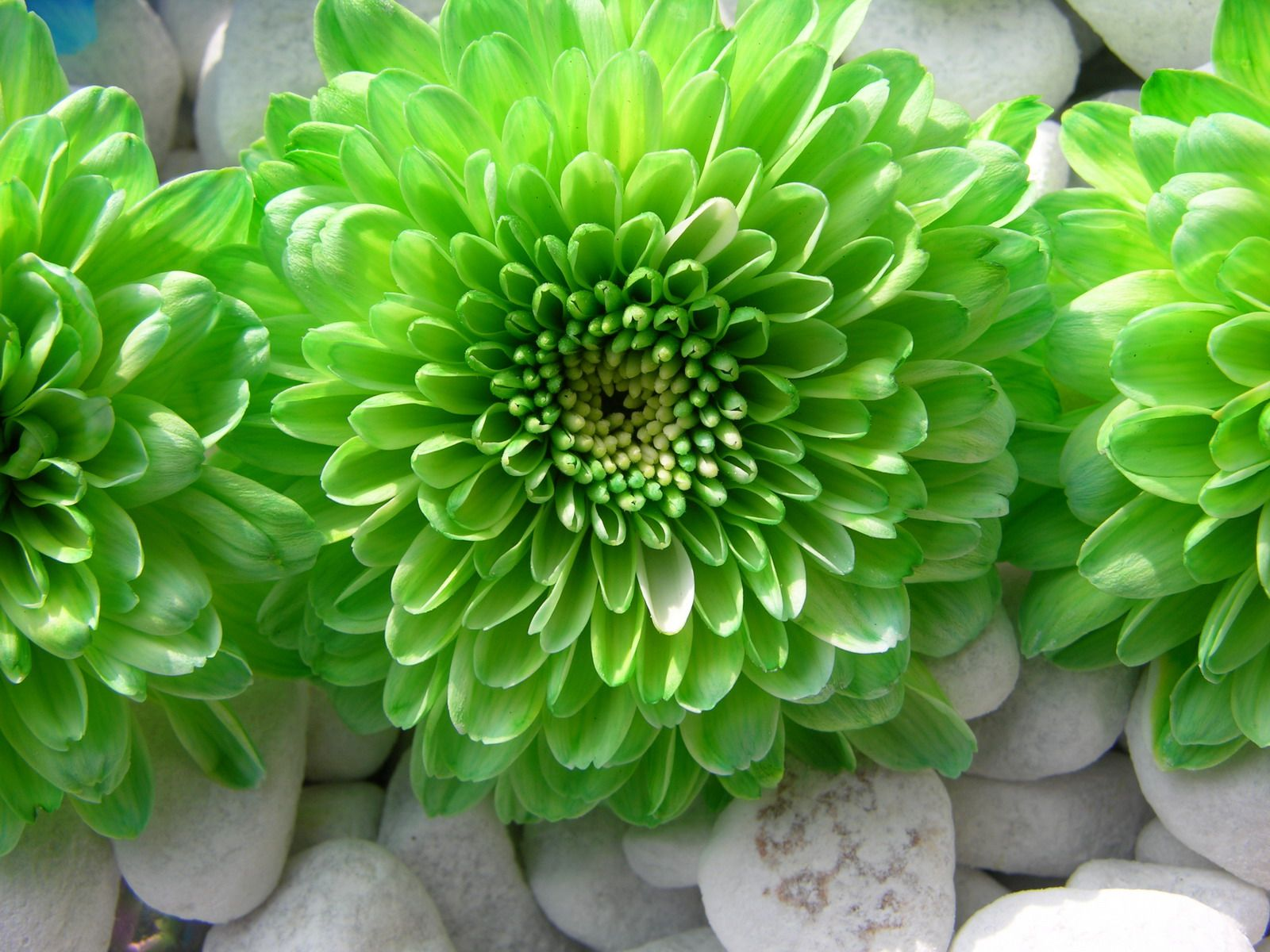 Picture of green flowers stock flower images pinterest green flower izmirmasajfo Choice Image