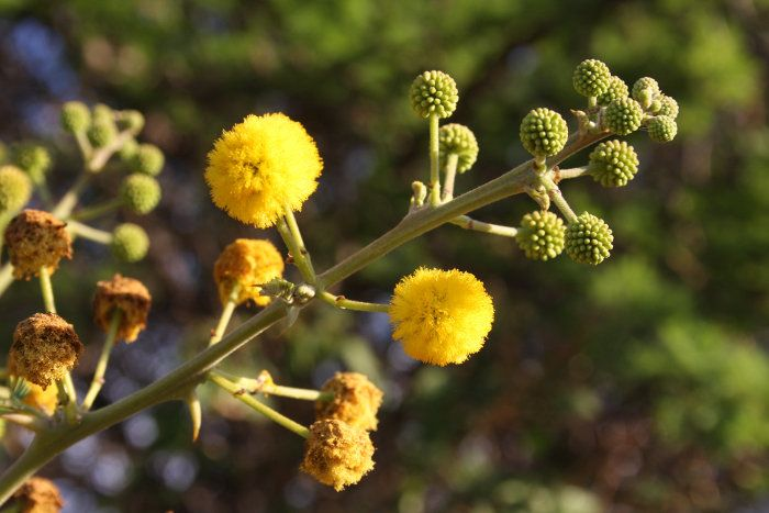 The Secrets Of Acacia Flowers Africa Freak In 2020 Flowers Acacia Tree Drought Tolerant Trees