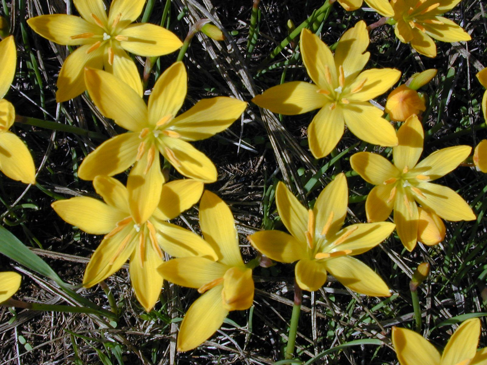 Yellow rain lily zephyranthes citrina non native naturalized yellow rain lily zephyranthes citrina non native naturalized flowering plant found izmirmasajfo Image collections