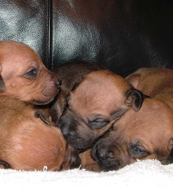 Rhodesian Ridgeback Puppies In Washington Rhodesian Ridgeback Puppies Rhodesian Ridgeback Puppies