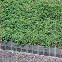 Prince Of Wales Juniper Creeping Juniper Is A Flat Low Growing Evergreen Shrub Which Creeps Horizontally And Roots Evergreen Shrubs Plants Evergreen Garden