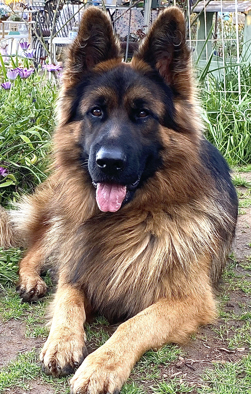 Ted E Bear In 2020 German Sheperd Dogs German Shepherd