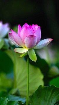 Dostojny Lotos Lotus Flower Pictures Flower Pictures Lotus Flower