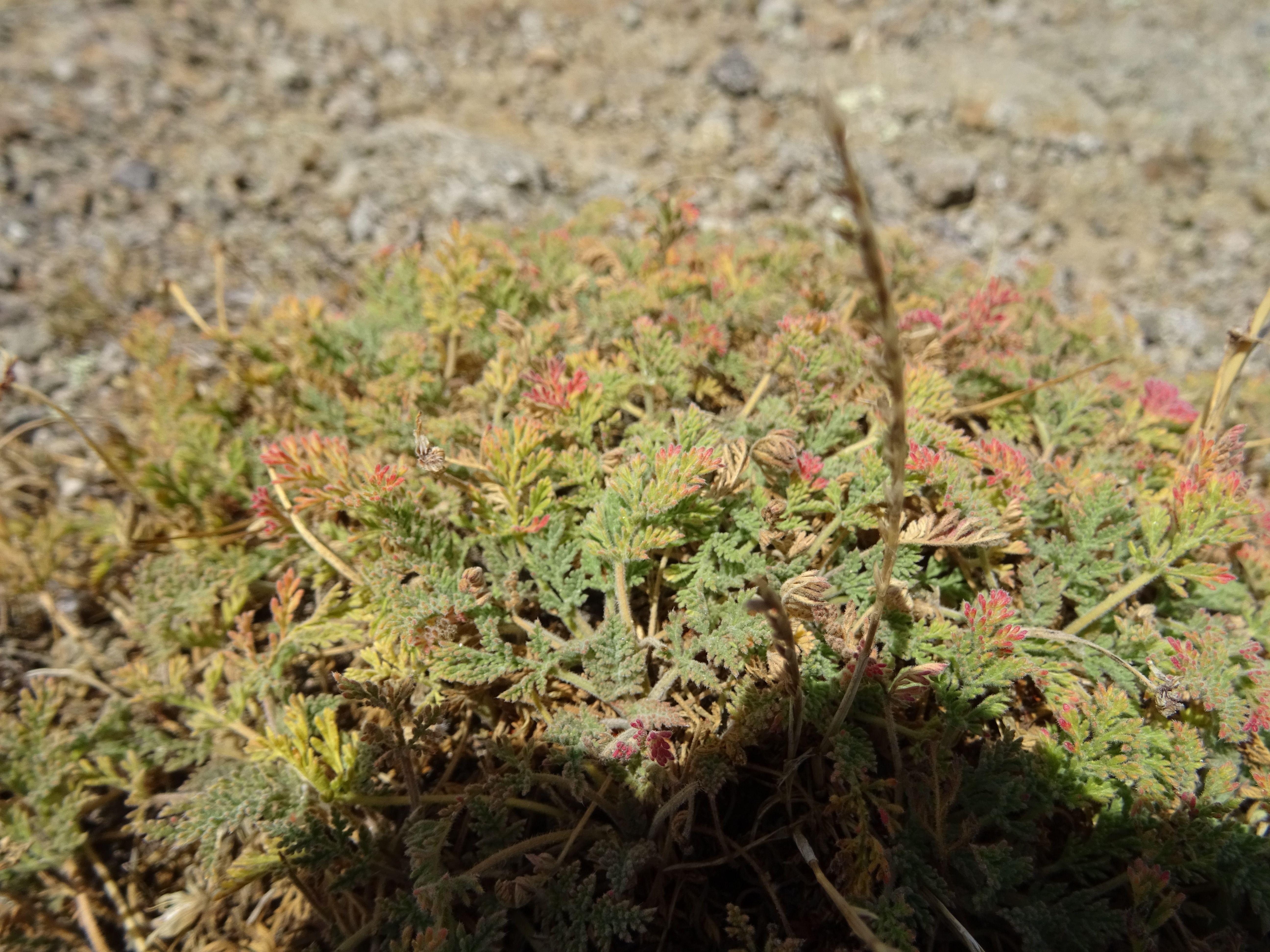 El geranio del paular, con sus hojas rizadas y lobuladas, son hojas pequeñas. Se ve amarillento porque en verano se pone así.