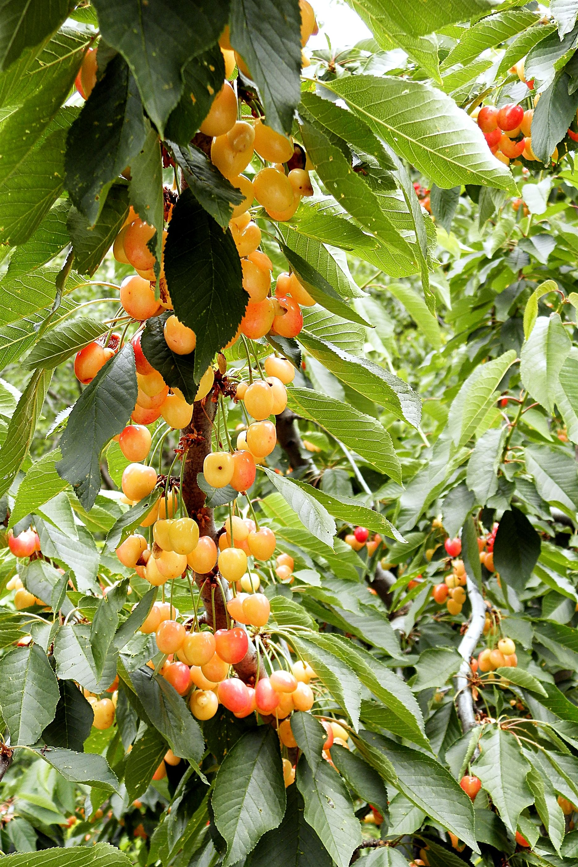 Orchard Fruit From The Village Of Kambos - Greece &