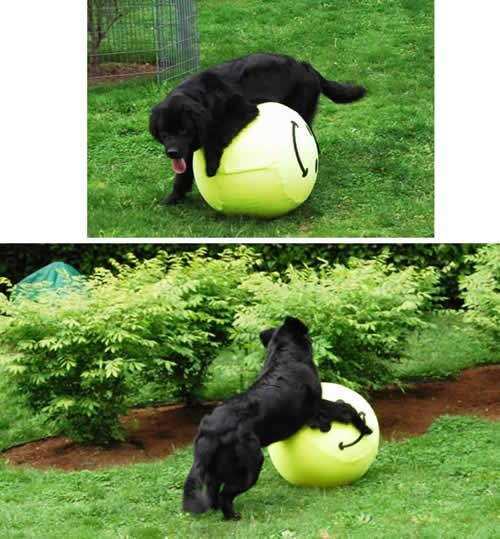 Even The Newfs Get In On The Equi Ball Big Dogs Newfoundland