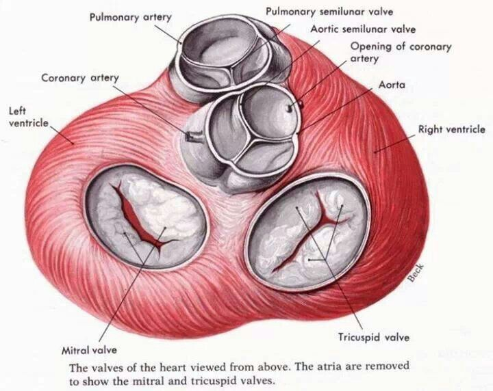 Cardiac Valves Well Theres A Picture Of Normal Valves Heart