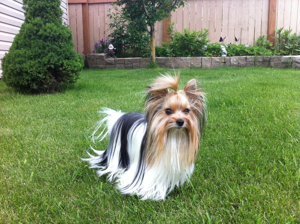 Biewer Yorkshire Terrier For Stud In Edmonton Alberta Hoobly
