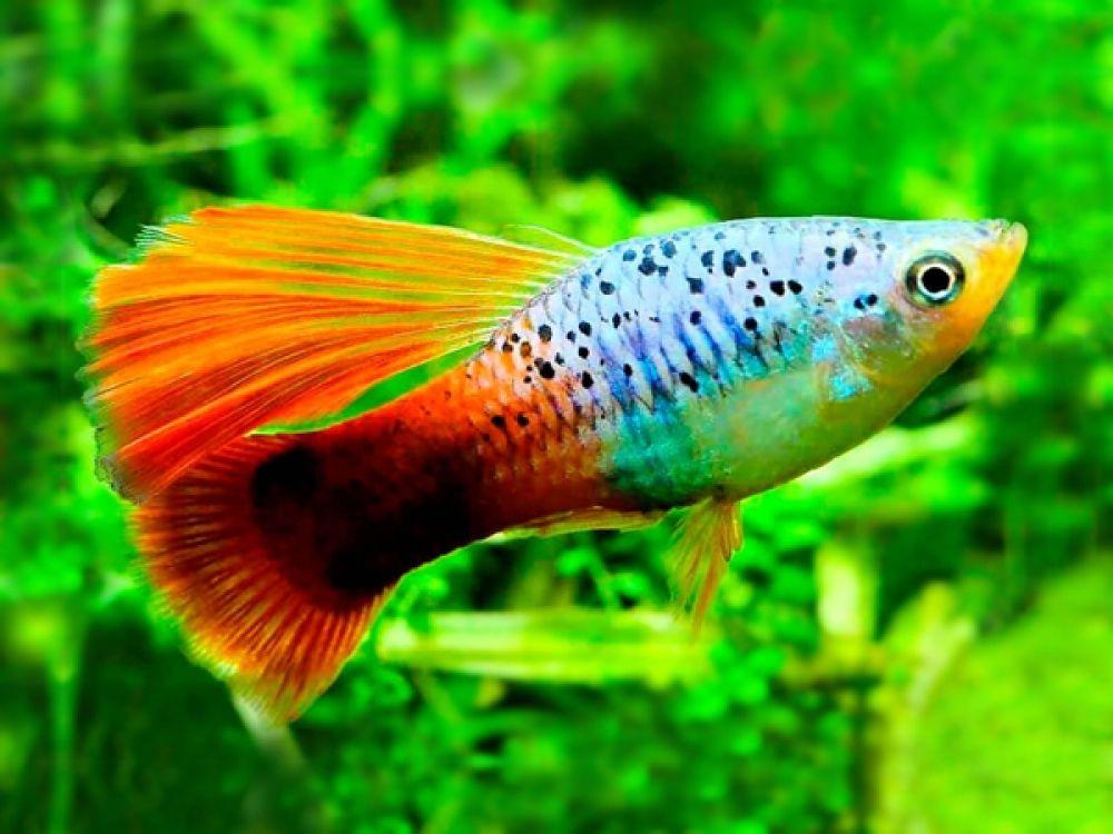 Variatus Hawaii Redtail Highfin Platy In 2020 Platy Fish Fish Tropical Fish Aquarium