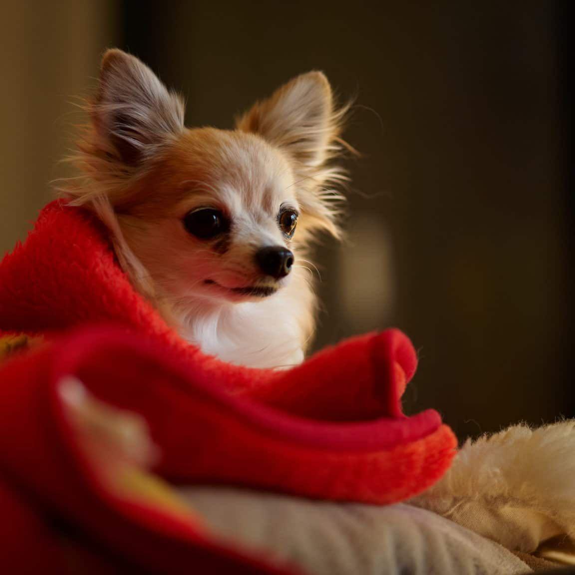 Vivre avec un chien en appartement 5 races possibles