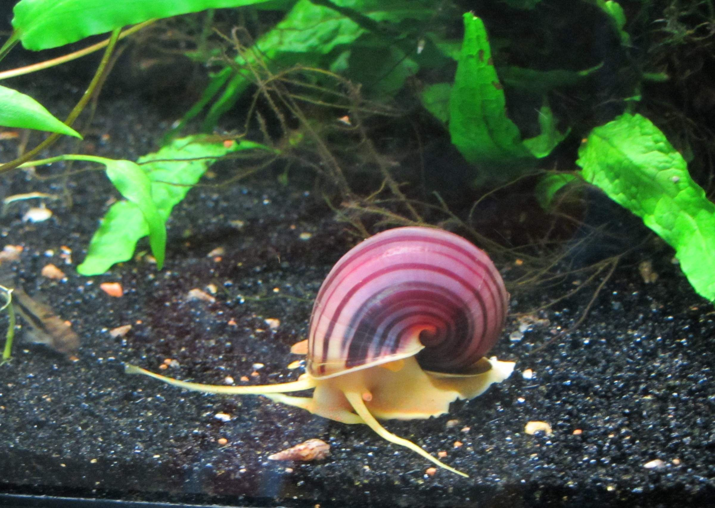 Mystery snail per gallon of tank google search cool for Snails in fish tank