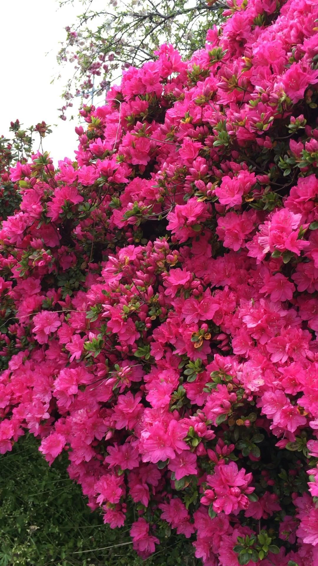 azaleas blooming 1000 in 2020 Azaleas landscaping