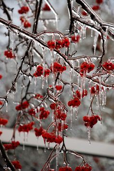 Red Winter Mountain Ash with a coat of ice, loved the picture, I'm sure the bird is right there just out of shot