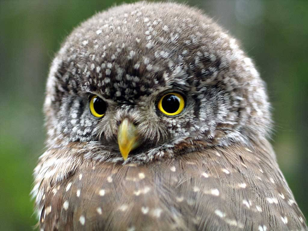 Pygmy owl, These are mostly small owls & some of the species are ...