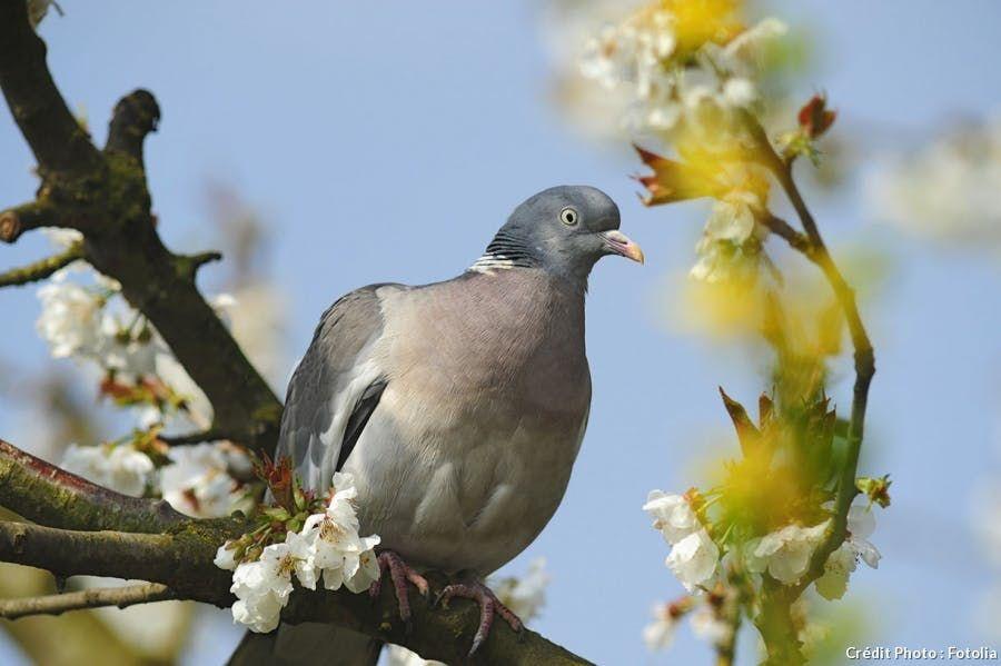 Le Pigeon Ramier Pigeon Le Pigeon Birds