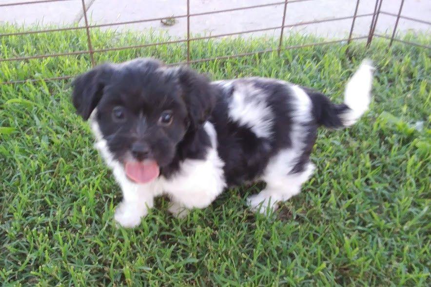 Havanese Puppies For Sale Kinston, NC in 2020 Havanese