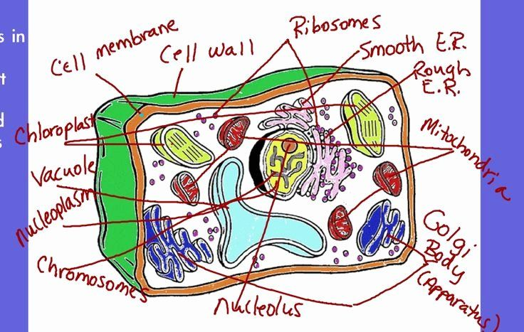 32 Plant Cell Coloring Page in 2020 | Plant cell, Coloring ...