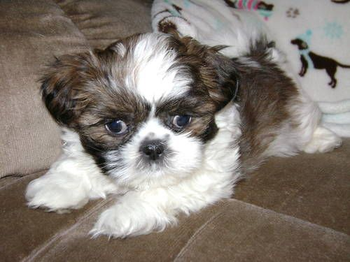 Very Cute Male Tri Colored Shih Tzu Puppy For Adoption 8 Weeks Old